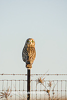 01113-01404 Short-eared Owl (Asio flammeus) on fence post Prairie Ridge State Natural Area Marion Co. IL