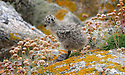 THE ISLES OF SCILLY SEABIRD RECOVERY PROJECT. A LESSER BLACK- BACKED GULL CHICK ON THE ISLAND OF GUGH.<br /> 17/06/2015. PHOTOGRAPHER CLARE KENDALL.