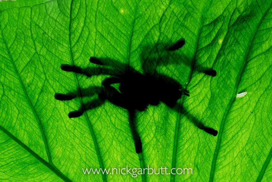 White-toed Tarantula (Avicularia metallica) seen through leaf, Ecuador, Amazonia