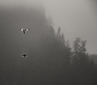 Short-eared Owls chase each other through the air.