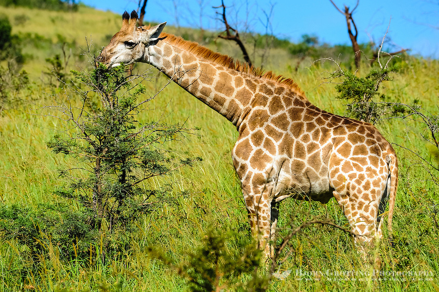 Giraffe. Hluhluwe-Umfolozi Game Reserve, South Africa.