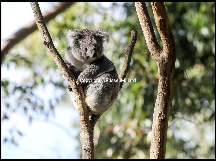 BNPS.co.uk (01202) 558833Pic: RussellMillard/Longleat/BNPS<br /> <br /> Under threat - Koala at the Cleland Wildlife Park near Adelaide.<br /> <br /> A British country estate is set to give hope to one of Australia's most iconic and increasingly threatened species.<br /> <br /> The Longleat Estate, in Wiltshire, have revealed that they will soon be the first park in Europe to take delivery of six southern koalas from Cleland Wildlife Park in Adelaide, as part of an international breeding programme.<br /> <br /> The Australian government have recently listed the cuddly marsupial as 'vulnerable to extinction' as dog attacks and bush fires take a toll on the slow moving bear.<br /> <br /> After spending time in quarantine, the koalas, along with a pair of wombats which are the koalas' closest relative, will be transferred into a purpose-built area of the estate called Koala Creek.<br /> <br /> Creating the specialist area has been a long and thorough task for staff, who have even developed a 4,000-tree eucalyptus plantation to keep the bears well-fed.