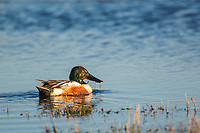 Male northern shoveler duck swims on a tundra pond in Alaska's Arctic.