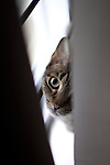 Ravello, the tabby cat, peeking out of curtain with big adorable eyes