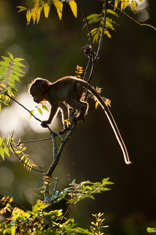 A baby Toque Macaque climbs a tree in the last light of the day. Archaeological reserve, Polonnaruwa, Sri Lanka. IUCN Red List Classification: Endangered