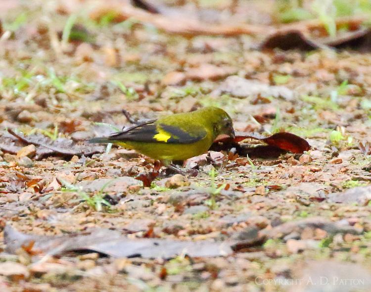 Female yellow-bellied siskin