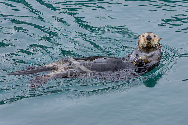 Inquisitive Northern Sea Otter (Enhydra lutris) in Prince William Sound, Alaska.  Spring.