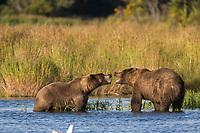 Brown bears, Katmai National Park, southwest, Alaska.