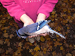 Child holding dead blue jay