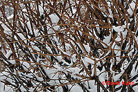"""1229-07oo  Camouflaged Black-capped Chickadee """"In Winter on Bush"""" - Parus atricapillus © David Kuhn"""