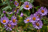 The purple blossoms of wild aster, or New England Aster, blooming on an autumn day in Ontario.