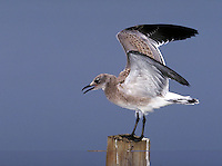 Laughing Gull, immature. New Jersey.