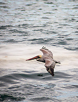 A Brown Pelican glides just above the water at Bean Hollow State Beach.
