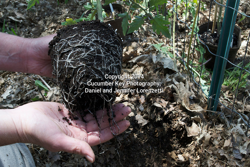 A young Steak House tomato plant has filled its peat pot with roots before transplanting to the garden.