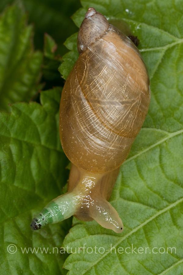 Bernstein-Schnecke, Bernsteinschnecke, Bernstein - Schnecke, Succinea putris, verdickter Fühler zeigt Befall durch Saugwurm Leucochloridium paradoxum an, parasitiert, Parasit, Parasitismus, rotten amber snail, large amber snail, European ambersnail