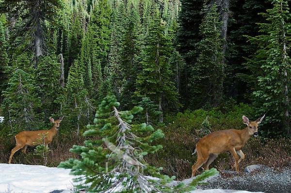 Black-tailed Deer (Odocoileus hemionus) does.  Pacific Northwest.  July.