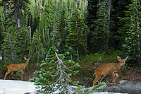 Black-tailed Deer (Odocoileus hemionus) does.  Pacific Northwest.  July.