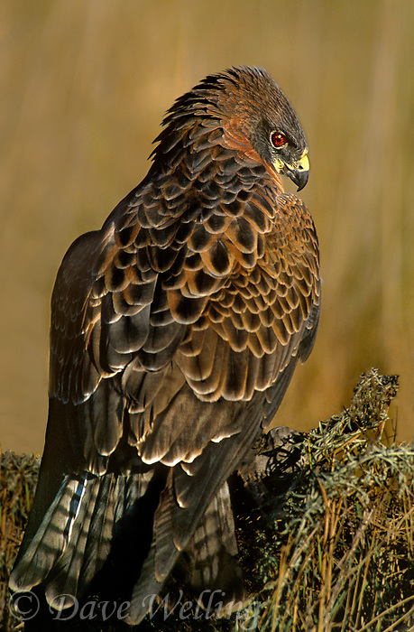 542400004 a captive adult swainsons hawk a wildlife rescue bird perches on a rock outcrop in central colorado united states