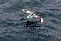 Pintado petrel, Daption capense, in flight.