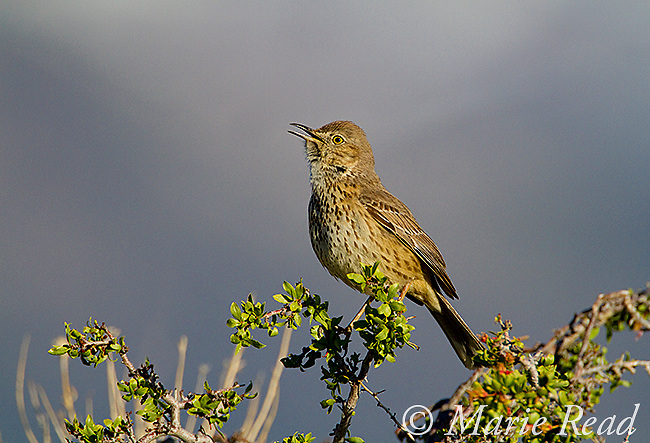 Sage Thrasher (Oreoscoptes montanus), singing in spring, Mono Lake Basin, California, USA