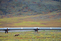 Grizzly bear, Trans Alaska Oil Pipeline, Alaska's Arctic north slope.