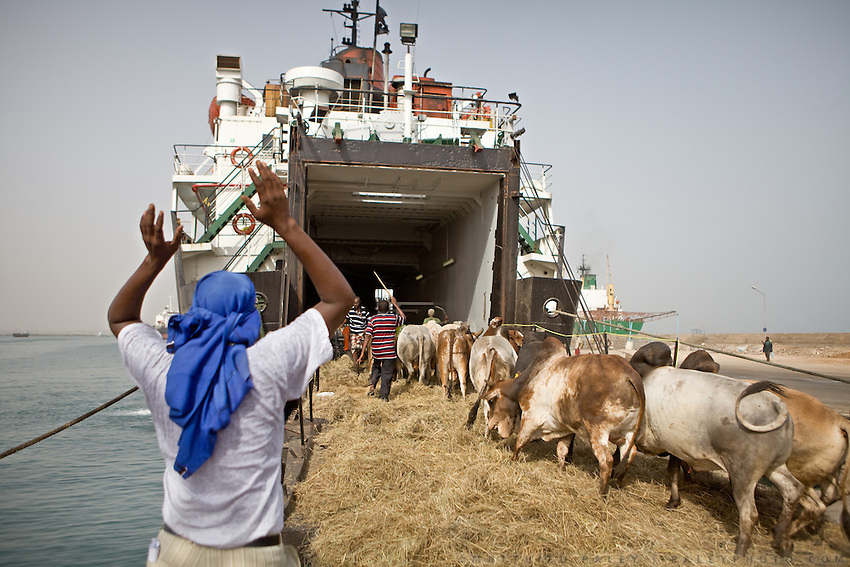 A freighter transports cattle to Saudi Arabia. It has come from northern Somalia, for Djibouti has suffered a long drought and its animals are too undernourished. ..The geostrategical and geopolitical importance of the Republic of Djibouti, located on the Horn of Africa, by the Red Sea and the Gulf of Aden, and bordered by Eritrea, Ethiopia and Somalia.
