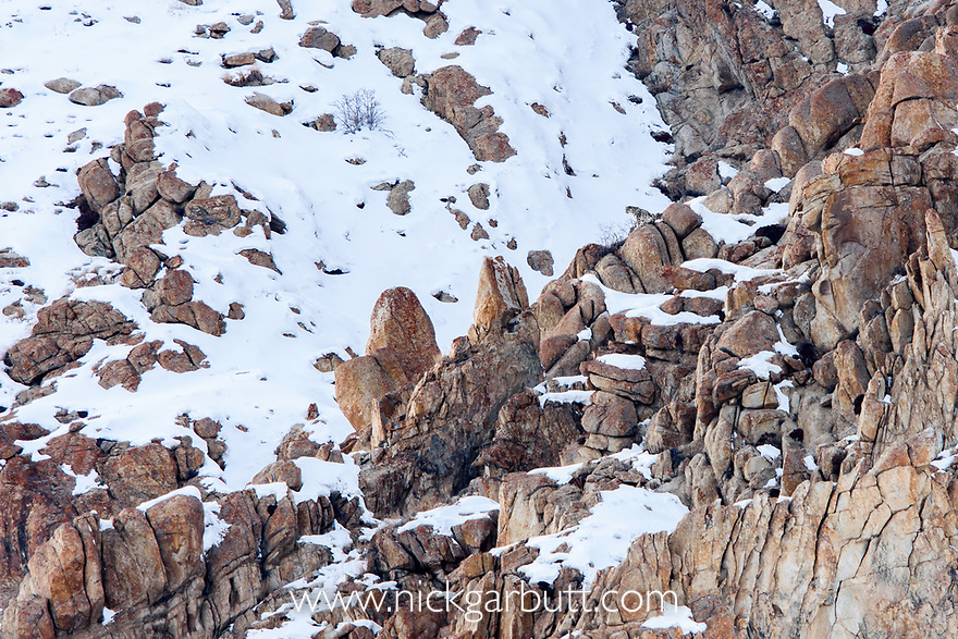 Male snow leopard (Panthera uncia) (formerly Uncia uncia) watching -covered slopes from a rocky outcrop. Ulley Valley, Himalayas, Ladakh, India.