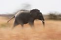 Botswana, Chobe National Park, Savuti, young African elephant bull (Loxodonta africana) running across grassland, motion blur