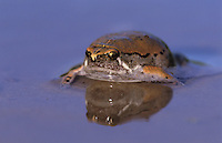 Sheep Frog, Hypopachus variolosus, adult swimming, Willacy County, Rio Grande Valley, Texas, USA, May 2004