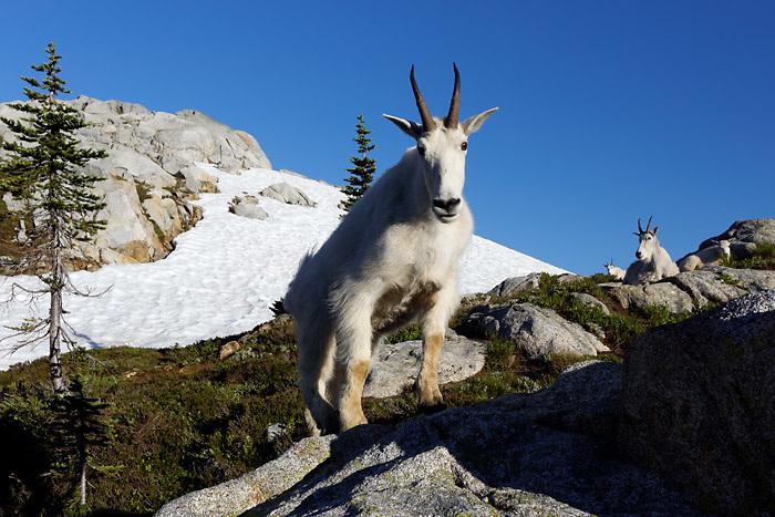 Mountain goats near Robin Lakes, Wenatchee Mountains, central Washington Cascade Mountains