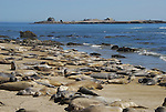 Molting elephant seals at North Point, Ano Nuevo SP
