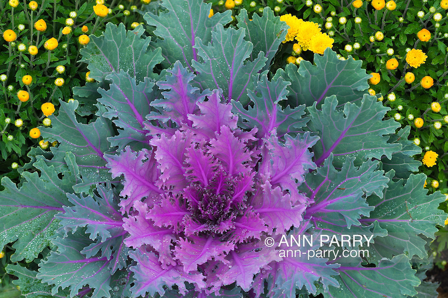 "Ornamental kale, or flowering kale, a purple and green leafed plant with serrated or fringed leaf margins, more specifically ""fringed leaved cultivars"" with ruffled leaves, with yellow chrysanthemums"
