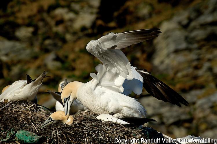 Havsuler i paring. ---- Northern Gannets mating.