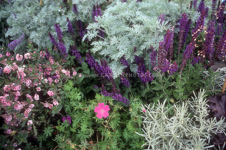 Salvia x sylvestris 'Mainacht' aka 'May Night'  + Artemisia 'Powis Castle', Helichrysum Icicles, Geranium sanguineum, purple Heuchera, color theme purple and pinks blues perennial planting combination of flowering and foliage plants