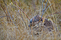 North American Beaver (Castor canadensis) cutting small willow limb in wetlands.  Northern Rockies,  Fall.