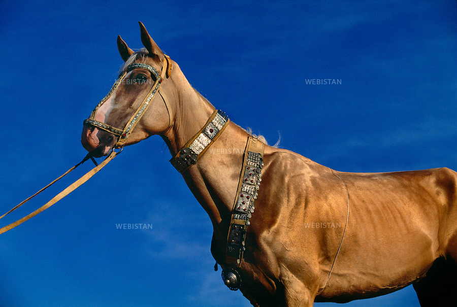 1997. Turkmenistan. Ivory Akhal-Teke horse. Un cheval Akhal-Teke de couleur ivoire.