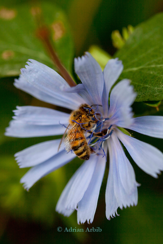 A honey bee on a hairless blue  sow thistle  ( cicerbita plumieri )
