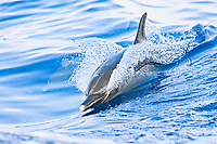 Pantropical Spotted Dolphin, Stenella attenuata, wake-riding, matured adult with white beak tip, off Kona Coast, Big Island, Hawaii, Pacific Ocean
