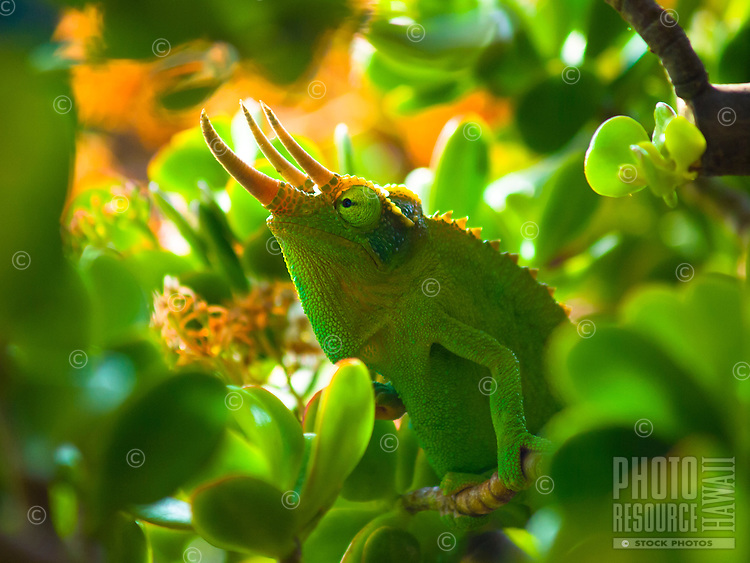 A male Jackson's chameleon sits like a king on a succulent plant, Hualalai, Big Island.