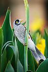 Noisy Miner (Manorina melanocephala), Royal Botanic Gardens, Sydney, New South Wales, Australia