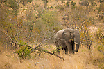 African Elephant (Loxodonta africana) bull grazing in bushveld, Kruger National Park, South Africa