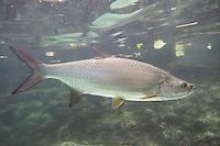 Atlantischer Tarpun, Silberfisch, Tarpon, Megalops atlanticus, Tarpon atlanticus, Atlantic tarpon, silver king