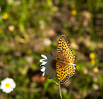 Great Spangled Fritillary on a daisy in Canada