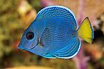 Acanthurus coeruleus, Blue tang, juvenile, Roatan
