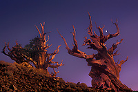 730252015a post sunset light and a rising half moon shed faint highlights on two ancient bristlecone pines pinus longeava in the bristlecone protected forest in the white mountains in kern county california