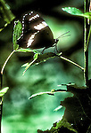 White Admiral Butterfly, Limenitis arthemis
