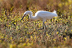 Egret in a Field, Upper Newport Bay, CA