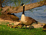 Canada Geese chicks feeding along the lake shore.