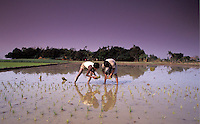 Bangladesh, Chittagong, 26 Januari 1991..Rijst planten op het platteland gebeurt met de hand...Rice planting in the country side, all by hand...Photo by Kees Metselaar