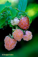 HS34-011b   Raspberries - Fall Gold variety